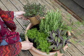Woman planting large terracotta pot with herbs, fennel, thyme, rosemary, sage
