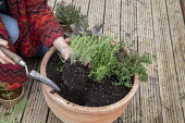 Woman planting large terracotta pot with herbs, thyme, rosemary