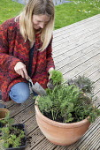 Woman planting large terracotta pot with herb, fennel, thyme, rosemary, sage