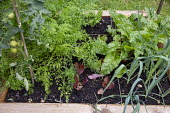 One metre square raised bed, Beetroot 'Burpees Golden', carrots, tomatoes
