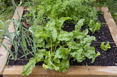 One metre square raised bed, Beetroot 'Burpees Golden', carrots