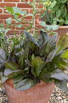 Lettuce 'Devil's Tongue' and Sorrel 'Red Veined' in terracotta pot