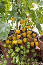 Vine tomato 'Datterini Yellow'