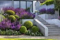 Stone steps leading to house, clipped Buxus sempervirens balls, salvia, perovskia, osteospermum