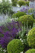 Clipped Buxus sempervirens balls in sloping border, salvia, perovskia, osteospermum