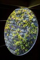 View through circular opening in wooden playhouse, Verbena bonariensis, Trachelospermum jasminoides climbing on dark painted fence