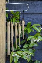Bamboo wind chimes, Trachelospermum jasminoides