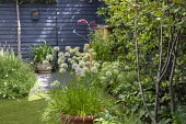 Alliums in container, Amelanchier lamarckii. dark painted fence
