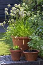 Allium in terracotta pot