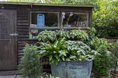 Hosta 'Eternal Flame', Podophyllum versipelle 'Spotty Dotty, Asplenium scolopendrium in large copper container, wooden shed, Hosta fortunei var. albopicta, Hosta 'Cherokee', Cryptomeria japonica