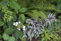 Athyrium niponicum var. pictum, Alchemilla mollis, Polystichum polyblepharum, lacecap hydrangea