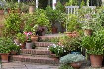 Tender shrubs in terracotta pots on brick steps, wooden chairs, Cyperus papyrus, pelargoniums, osteospermum, Pelargonium x hortorum 'Bird Dancer', Erigeron karvinskianus in paving cracks, astrantia, a...