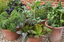 Kale 'Dwarf Green Curled', Salsola soda, Lettuce 'Devils Tongue', Tomato 'Moneymaker', Swiss Chard 'Fordhook Giant' in terracotta pots