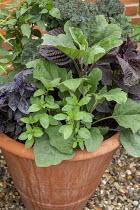 Kale 'Red Curled', Basil 'Red Ruben', Aubergine 'Zora', Perilla frutescens, Black peppermint and Chilli 'Black Hungarian' in terracotta pot