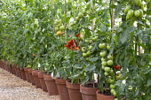 Row of cordon-trained tomatoes in greenhouse