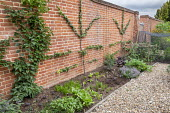 Fan-trained fruit espalier on brick wall, herb and vegetable in border