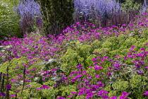 Geranium 'Patricia', Hylotelephium spectabile (Brilliant Group) 'Brilliant' syn. sedum, Salvia nemorosa 'Ostfriesland'