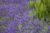 Drift of Lavandula angustifolia 'Hidcote', Rosmarinus officinalis 'Miss Jessopp's Upright'