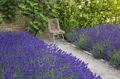 Drift of Lavandula angustifolia 'Hidcote', chair, Ficus carica trained against wall