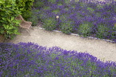 Drift of Lavandula angustifolia 'Hidcote', chair, gravel path