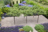 Umbrella-trained Malus sylvestris, Lavandula angustifolia 'Hidcote', Salvia officinalis, self-binding gravel