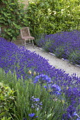 Drift of Lavandula angustifolia 'Hidcote' edging gravel path leading to chair, Rosmarinus officinalis 'Miss Jessopp's Upright', bay hedge, Ficus carica