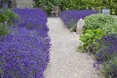 Drift of Lavandula angustifolia 'Hidcote' edging gravel path leading to chair, Salvia officinalis