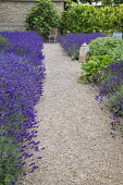 Drift of Lavandula angustifolia 'Hidcote' edging gravel path leading to chair, Salvia officinalis, Ficus carica