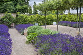 Umbrella-trained Malus sylvestris, Lavandula angustifolia 'Hidcote', Salvia officinalis, self-binding gravel, bay hedge, Ficus carica