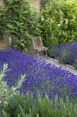 Drift of Lavandula angustifolia 'Hidcote' edging gravel path leading to chair, Rosmarinus officinalis 'Miss Jessopp's Upright', bay hedge, Ficus carica trained against wall