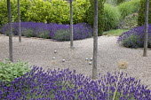 Petanque pitch under umbrella-trained Malus sylvestris, Lavandula angustifolia 'Hidcote', Salvia officinalis, self-binding gravel,, Laurus nobilis hedge