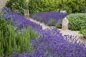 Drift of Lavandula angustifolia 'Hidcote' edging gravel path leading to chair, Salvia officinalis, Rosmarinus officinalis 'Miss Jessopp's Upright', bay hedge, Ficus carica