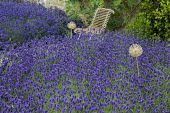 Drift of Lavandula angustifolia 'Hidcote', chair