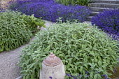 Salvia officinalis, Lavandula angustifolia 'Hidcote', gravel path