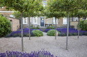 Umbrella-trained Malus sylvestris, Lavandula angustifolia 'Hidcote', Salvia officinalis, self-binding gravel, white metal chair