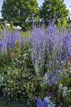 Perovskia atriplicifolia 'Blue Spire', Achillea ptarmica 'The Pearl', Potentilla fruticosa 'Lovely Pink'