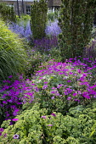 Geranium 'Patricia', Hylotelephium spectabile (Brilliant Group) 'Brilliant' syn. sedum, Salvia nemorosa 'Ostfriesland', Taxus baccata 'Fastigiata', Perovskia atriplicifolia 'Blue Spire', Miscanthus si...
