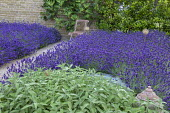 Drift of Lavandula angustifolia 'Hidcote', chair, gravel path, Salvia officinalis