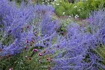 Perovskia atriplicifolia 'Blue Spire', Romneya coulteri, Geranium 'Patricia', Dianthus carthusianorum