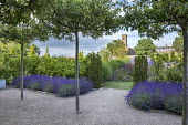 Umbrella-trained Malus sylvestris, Lavandula angustifolia 'Hidcote', self-binding gravel, bay hedge, Taxus baccata 'Fastigiata', view to church
