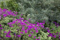 Geranium 'Patricia', Hylotelephium spectabile (Brilliant Group) 'Brilliant' syn. sedum, Hippophae rhamnoides