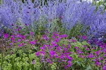 Geranium 'Patricia', Hylotelephium spectabile (Brilliant Group) 'Brilliant' syn. sedum, Perovskia atriplicifolia 'Blue Spire'