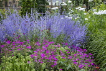Geranium 'Patricia', Hylotelephium spectabile (Brilliant Group) 'Brilliant' syn. sedum, Perovskia atriplicifolia 'Blue Spire', Romneya coulteri