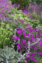 Geranium 'Patricia', Hylotelephium spectabile (Brilliant Group) 'Brilliant' syn. sedum