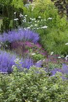 Geranium 'Patricia', Perovskia atriplicifolia 'Blue Spire', Romneya coulteri, Salvia nemorosa 'Ostfriesland'