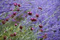 Perovskia atriplicifolia 'Blue Spire', Dianthus carthusianorum