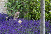 Drift of Lavandula angustifolia 'Hidcote', chair, Ficus carica trained against wall, allium seedheads