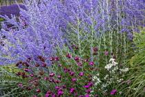 Perovskia atriplicifolia 'Blue Spire', Dianthus carthusianorum, Achillea ptarmica 'The Pearl'