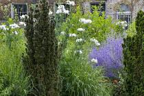 Romneya coulteri, Taxus baccata 'Fastigiata', Perovskia atriplicifolia 'Blue Spire'