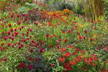 Alstroemeria 'Red Elf', Monarda 'Jacob Cline', dahlia seedlings, Crocosmia 'Lucifer', Cotinus 'Grace'